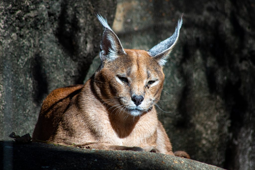 image of a mountain lion head and shoulders